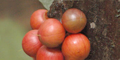 Cauliflorous fruits of Brazzeia congoensis