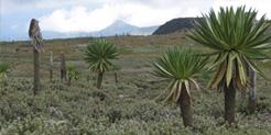 Lobelia rhynchopetalum in Ethiopian Highlands