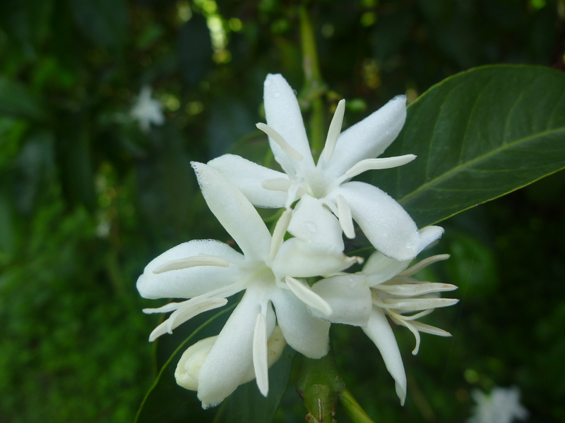 West african plants a photo guide coffea arabica l for Coffea arabica