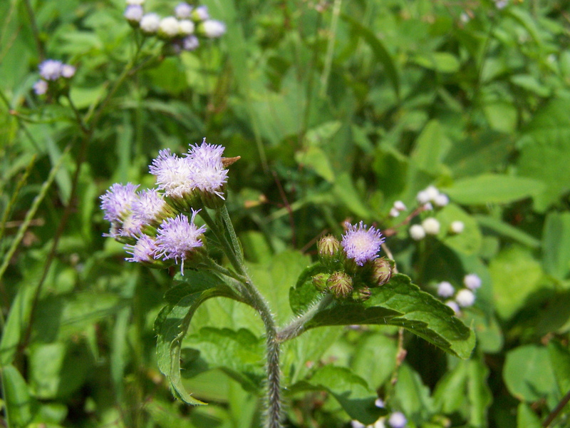African Plants A Photo Guide Ageratum conyzoides L