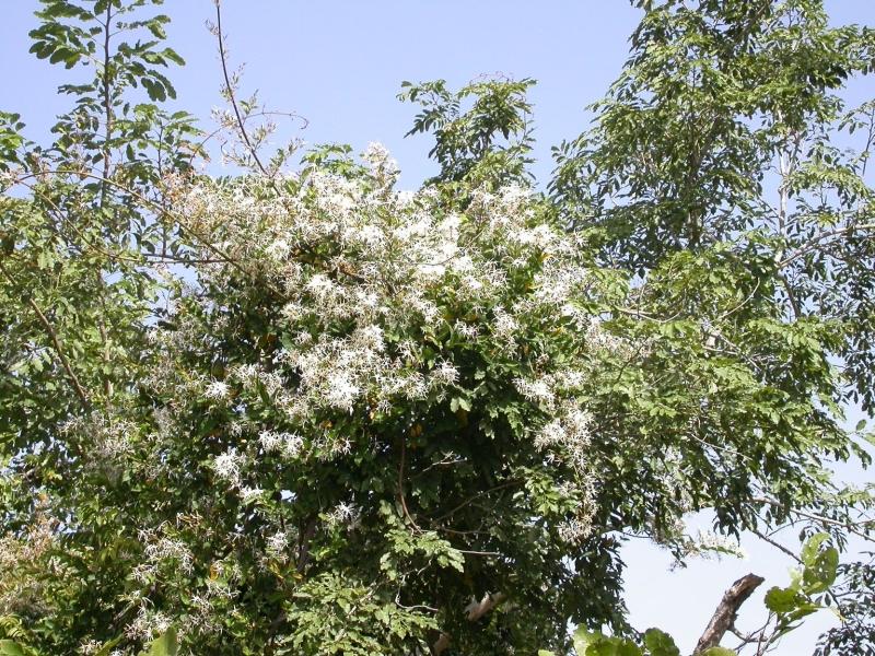 Image result for Baissea multiflora