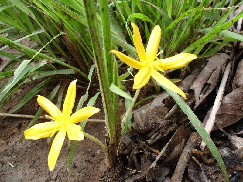Куркулиго цветы