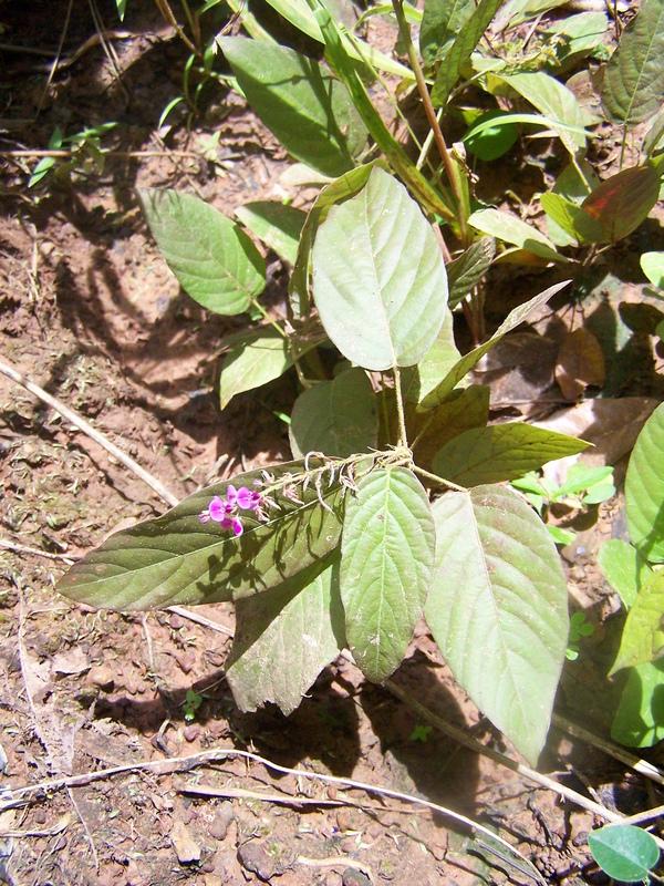 Desmodium Gangeticum Roots