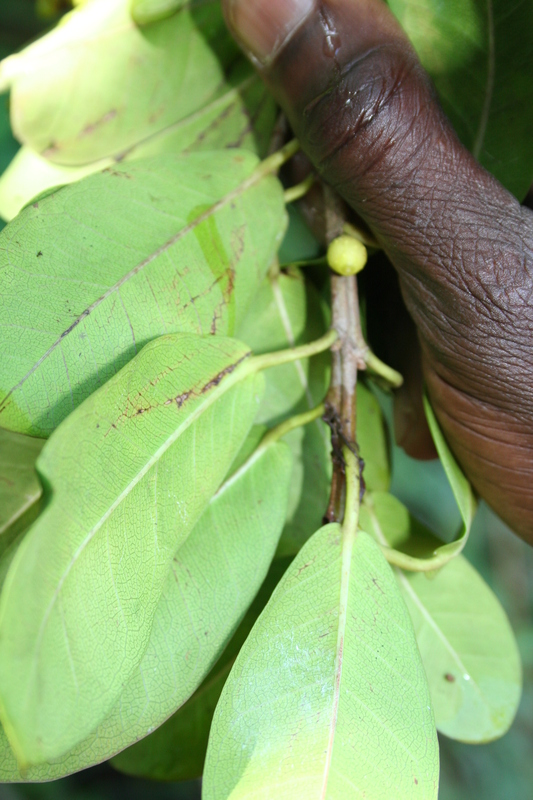 West African Plants - A Photo Guide - Ficus craterostoma Warb. ex ...