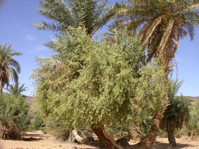 Salvadora Persica Tree Salvadora Persica l Family
