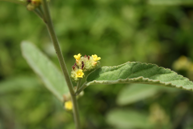 West African Plants A Photo Guide Waltheria Indica L