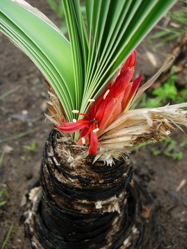 Boophone Disticha: Central African Plants