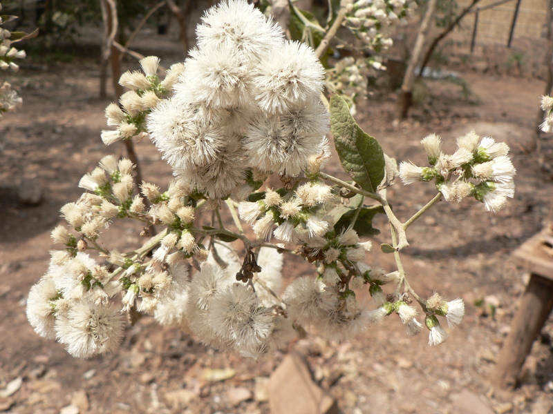 West African Plants - A Photo Guide - Vernonia amygdalina ...