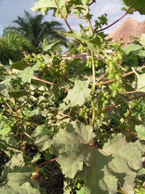 East African Plants - A Photo Guide - Xanthium strumarium L