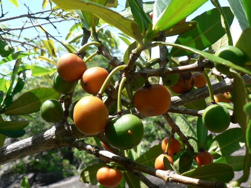 garcinia plant uses