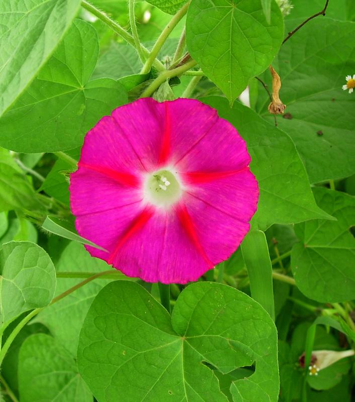 African plants a photo guide ipomoea purpurea l lam for Ipomea purpurea