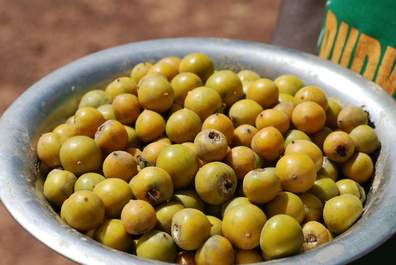 how to take care jujube tree