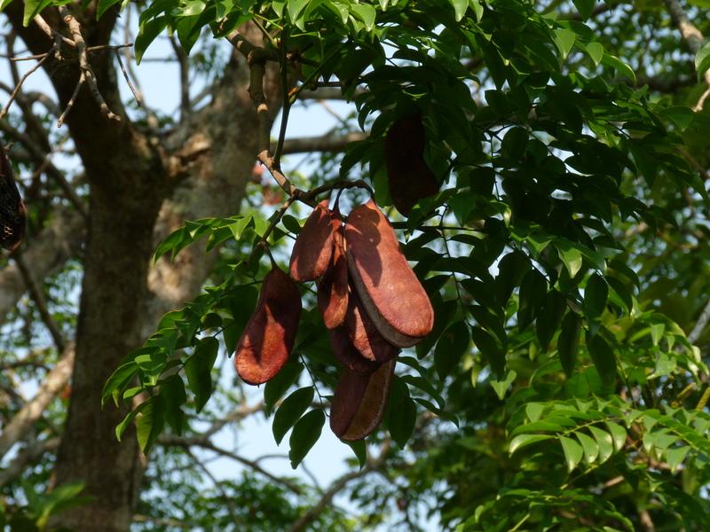 literature review on erythrophleum suaveolens plant