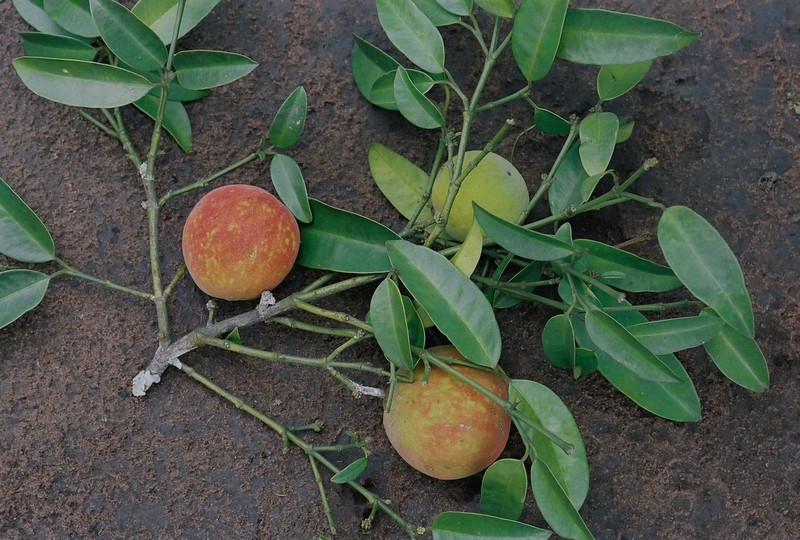 West African Plants - A Photo Guide - Garcinia kola Heckel