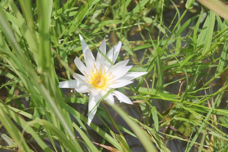 West african plants a photo guide nymphaea lotus l benin mightylinksfo
