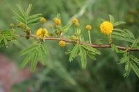 Acacia hockii De Wild.