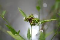 Melochia corchorifolia L.