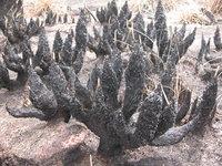 Afrotrilepis pilosa (Boeckeler) J.Raynal