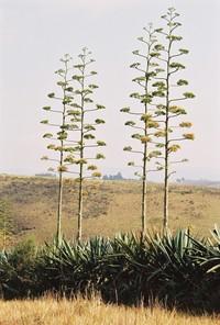 Agave sisalana (Engelm.) Perrine