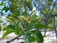 Allophylus africanus P.Beauv.