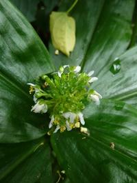 Aneilema beniniense (P. Beauv.) Kunth