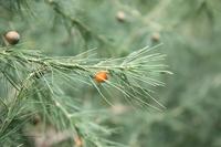 Asparagus flagellaris (Kunth) Baker