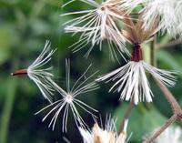 Vernonia wollastonii S. Moore