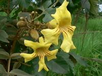 Markhamia obtusifolia (Baker) Sprague