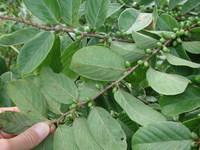 Bridelia ferruginea Benth.