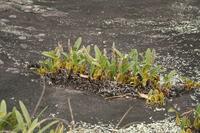 Bulbophyllum lupulinum Lindl.