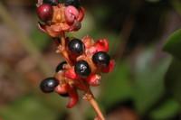 Campylospermum calanthum (Gilg) Farron