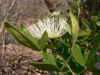 Thilachium africanum Lour.