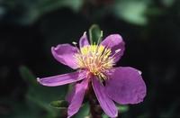 Clappertonia ficifolia (Willd.) Decne.