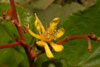 Clappertonia polyandra (K. Schum. ex Sprague) Bech.