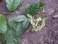 Clerodendrum volubile P. Beauv.