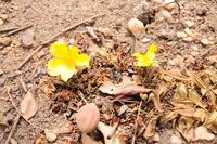 Cochlospermum tinctorium Perr. ex A.Rich.