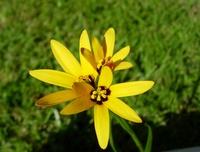 Baeometra uniflora (Jacq.) G.J. Lewis