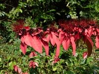 Combretum racemosum P.Beauv.