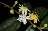 Dicranolepis grandiflora Engl.