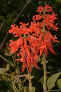 Erythrina abyssinica Lam. ex DC.