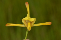 Eulophia angolensis (Rchb.f.) Summerh.