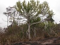 Euphorbia kamerunica Pax