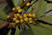 Ficus lutea Vahl