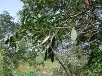 Gilletiodendron glandulosum (Portères) J.Léonard