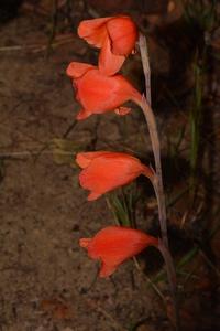 Gladiolus dalenii subsp. andongensis (Baker) Goldblatt
