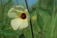 Hibiscus asper Hook.f.