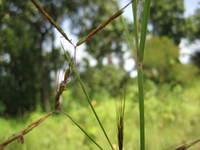 Hyparrhenia glabriuscula (Hochst. ex A.Rich.) Stapf