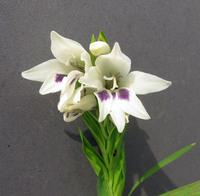 Gladiolus exalatus Goldblatt & Blittersdorff