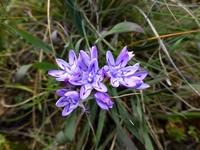 Lapeirousia corymbosa (L.) Ker Gawl.