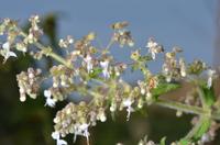 Isodon ramosissimus (Hook. f.) Codd